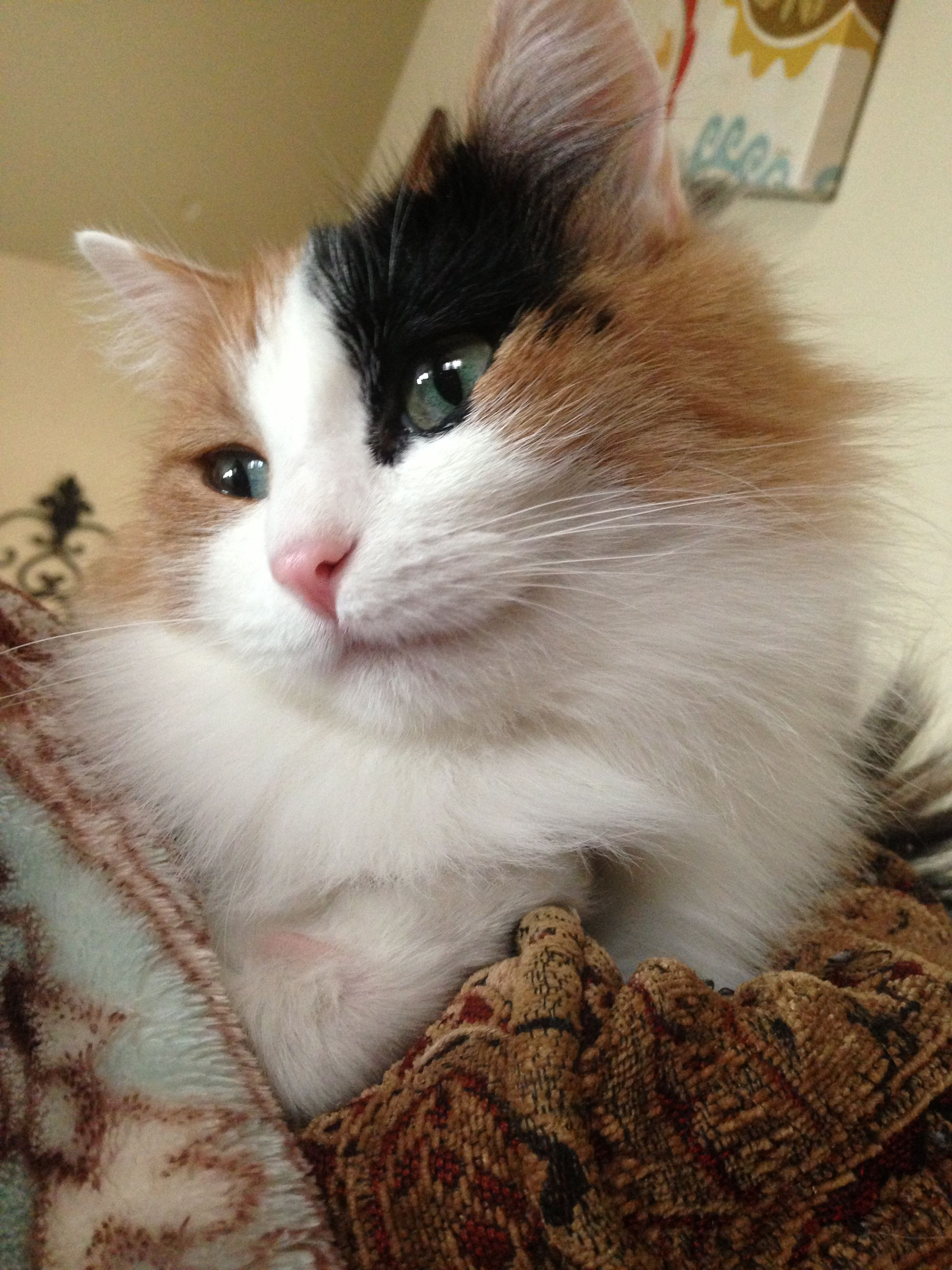 Cute calico cat Maui (With images) Calico cat, Cats