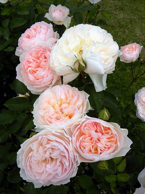 ❤❤❤❤ Copyrights unknown. Sweet Juliet roses.