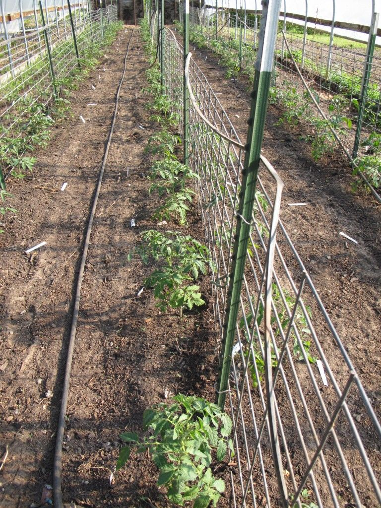 Trellis System For Heirloom Tomatoes Using T Posts And Hog