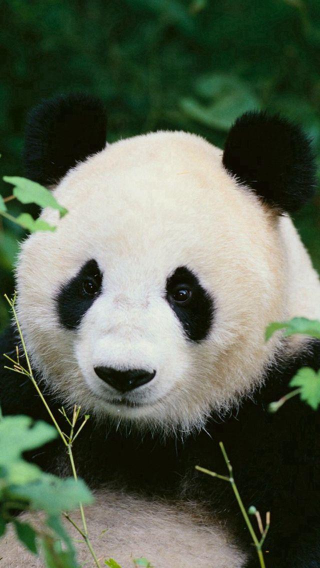 Hd Cute Panda Hd Backgrounds Tumblr Wallpapers Backgrounds Images Art Photos Panda Wallpapers Panda Background Panda Images