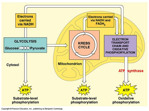 cellular respiration | Biology (EOC prep) | Pinterest ...