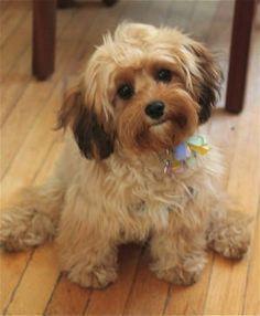 Mini Cavapoo Full Grown Google Search Cavapoo Cavapoo Puppies