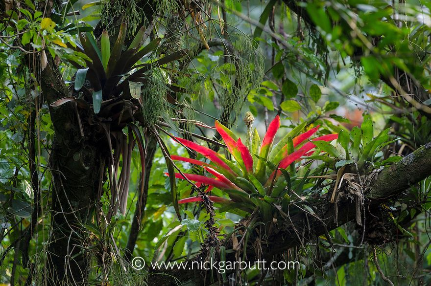Bromeliad Epiphyte Atlantic Canopy Rainforest 5210 Jpg 880 585