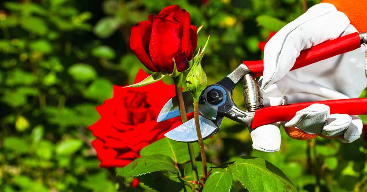 5 Tips For Pruning Roses Like A Pro Gardener S Path Pruning Roses Prune Shade Garden