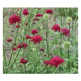 st50997 101 pflanzen stauden halbhohe und hohe bl hstauden knautia macedonica purpur. Black Bedroom Furniture Sets. Home Design Ideas