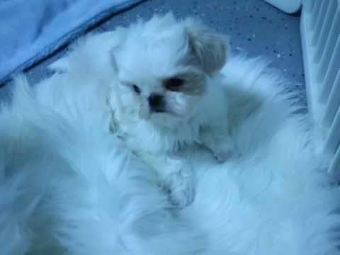 Shih Tzu Puppies For Sale Alabama Youtube Shih Tzu Puppy
