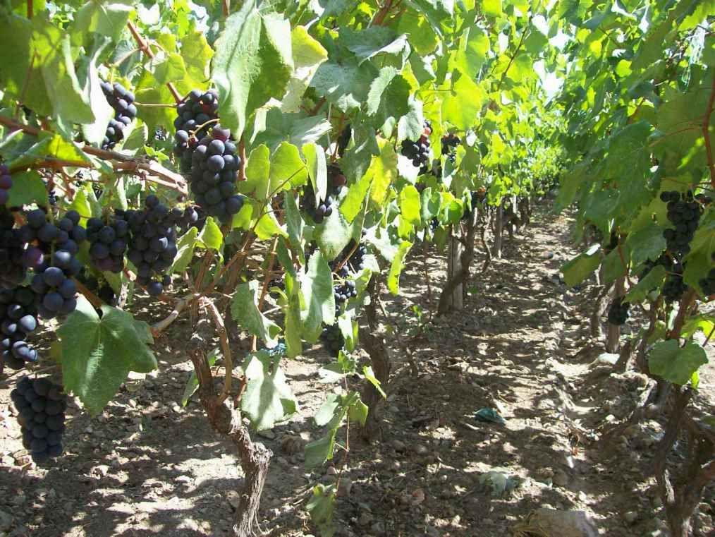 Las uvas de Cascas
