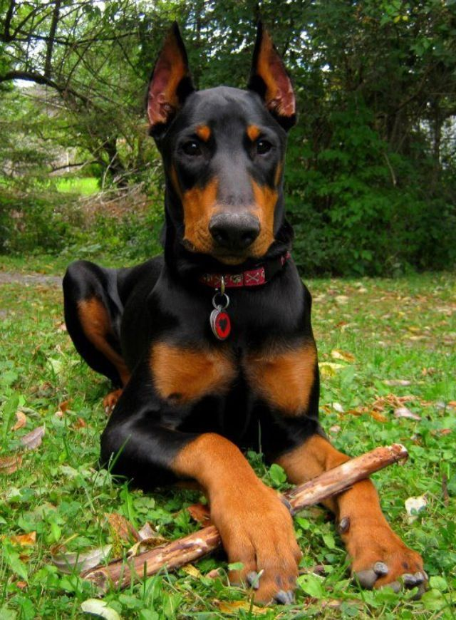 Sweet L Il Pup Doberman Pinscher Dog Dogs