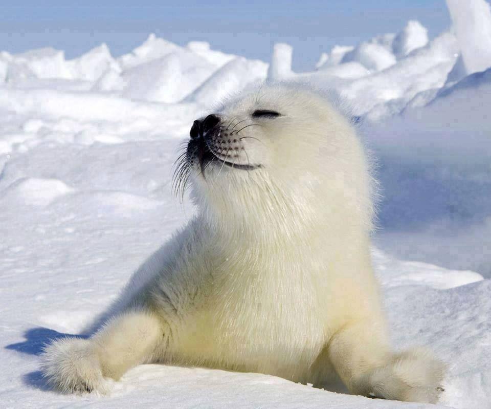 Facebook | Seal pup, Harp seal pup, Cute seals