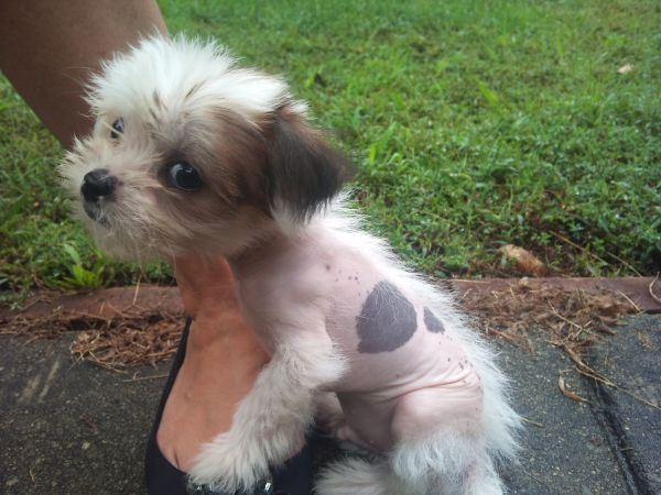 Shih Tzu Chinese Crested Mix Hairless Dog American Eskimo Dog