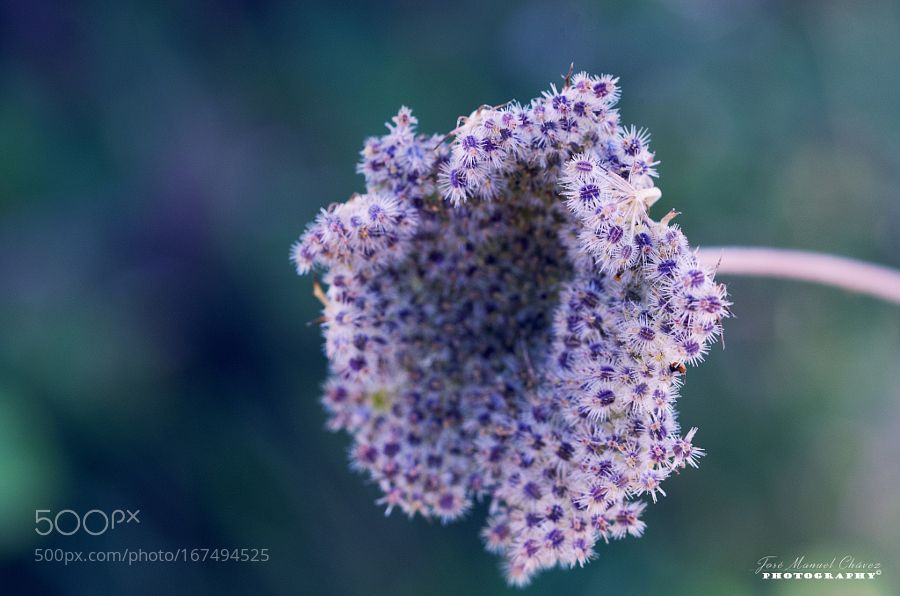 Flor by apaches