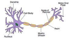 Label diagram of neuron data library ib biology notes 6 5 nerves hormones and homeostasis 6 5 2 draw rh pinterest com motor neuron diagram label diagram of neuron ccuart Images