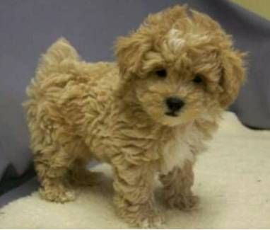 Gumtree Shih Tzu X Toy Poodle Or Shih Tzu X Maltese Poodle With