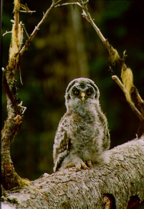 Great Grey Owl (Strix nebulosa) Juvenile. Photo by Jared Hobbs.