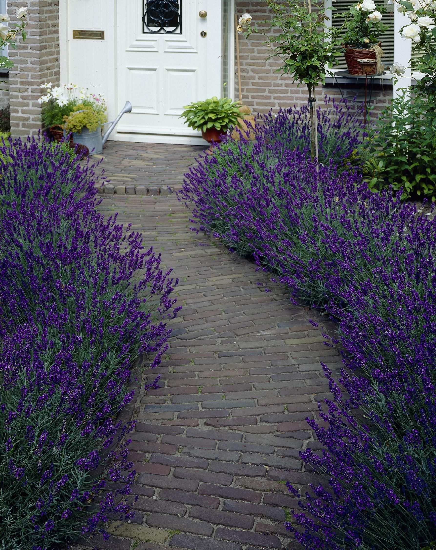 hidcote blue english lavender - monrovia  moderate grower to 2 to 3 ft  tall and wide