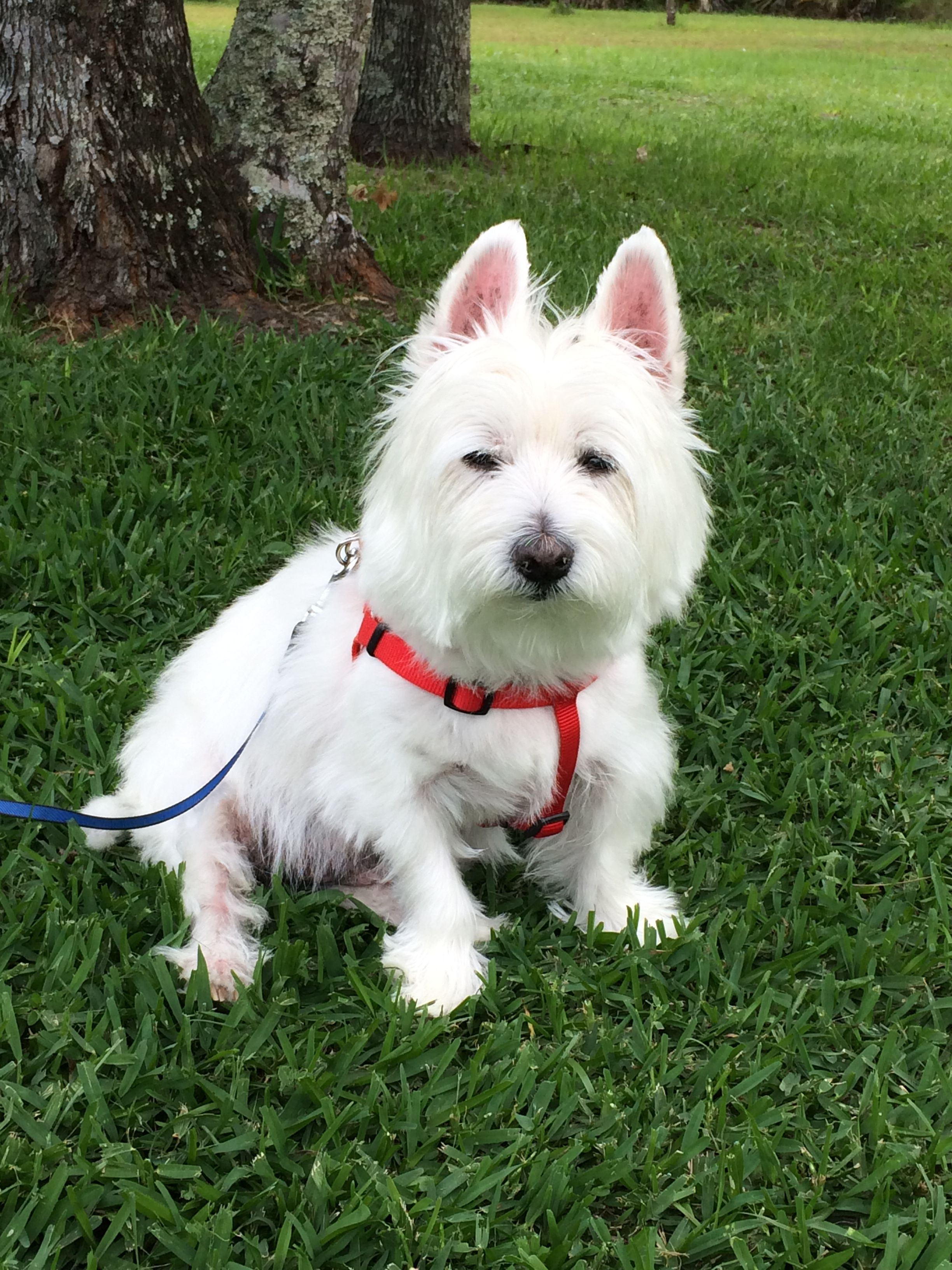 My Handsome Boy Rylie Animals Beautiful West Highland Terrier Animal Companions