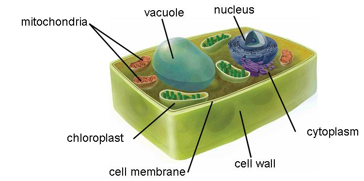 Animal Cell versus Plant Cell - CellUniverse | Plant cell ...