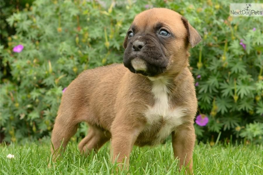 I Am A Cute Boxer Puppy Looking For A Home On Nextdaypets Com Boxer Dogs Cute Boxer Puppies Boxers For Sale