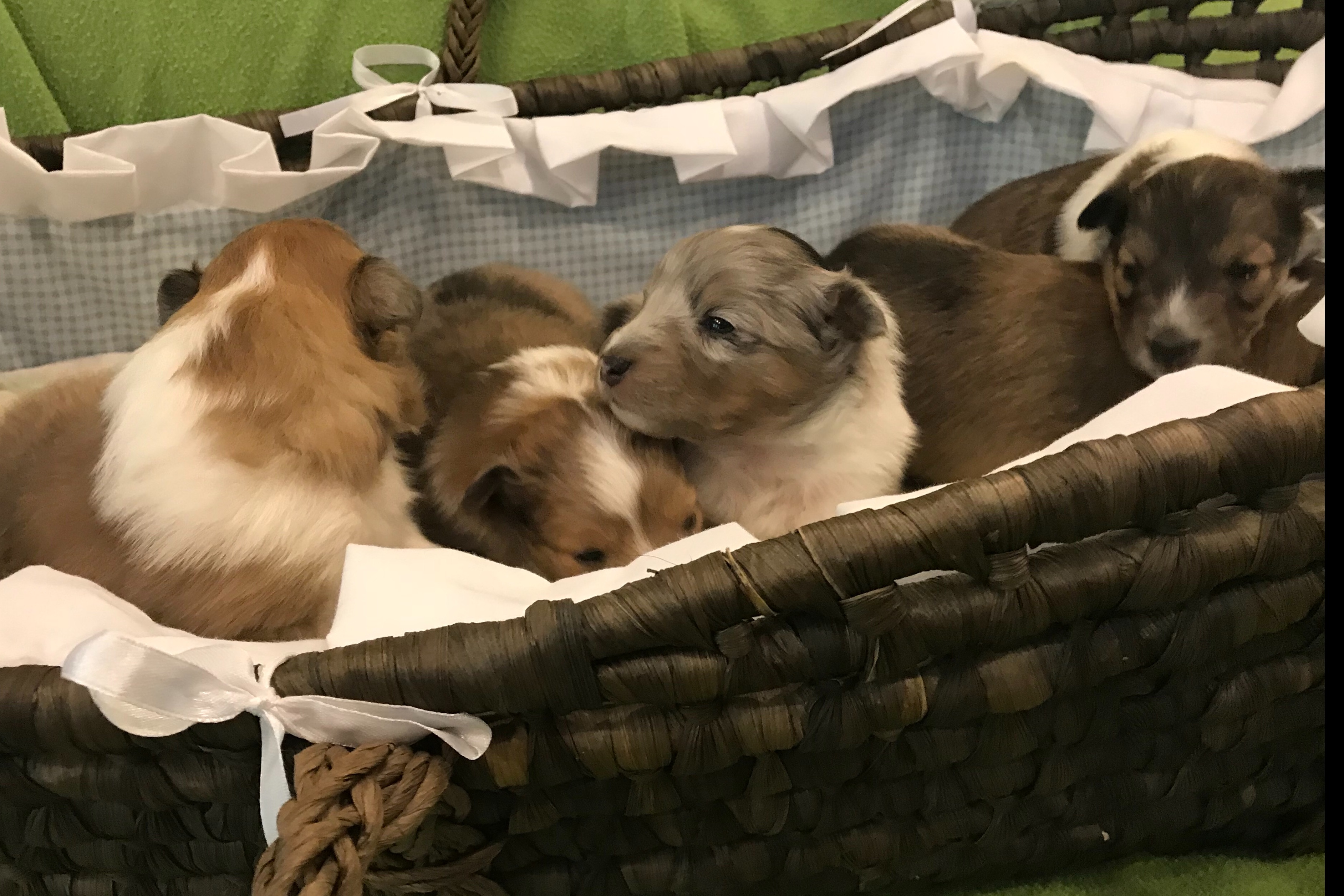 Redemption Has Shetland Sheepdog Puppies For Sale In Salisbury Nc On Akc Puppyfinder Sheltie Puppies For Sale Shetland Sheepdog Sheltie Puppy