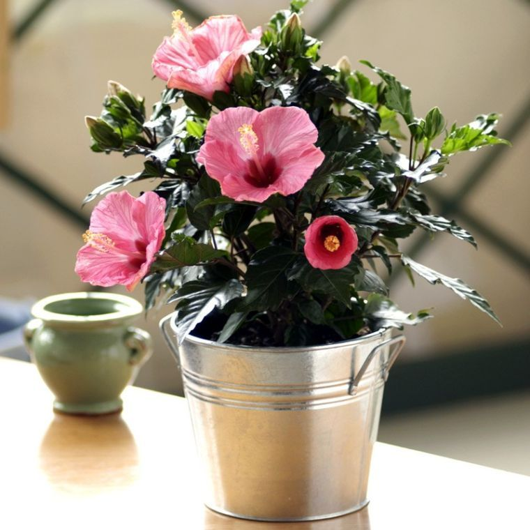 Hibiscus Care Suggestions And Methods For Wholesome Vegetation Hibiscus Methods Sugges Growing Hibiscus Plants Plant Gifts
