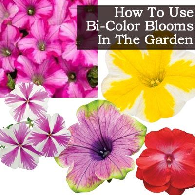 How To Use Bi-Color Blooms In The Garden
