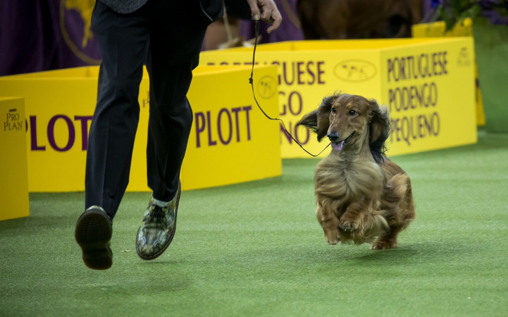 Westminster Kennel Club Dog Show 2019 In Pictures Westminster