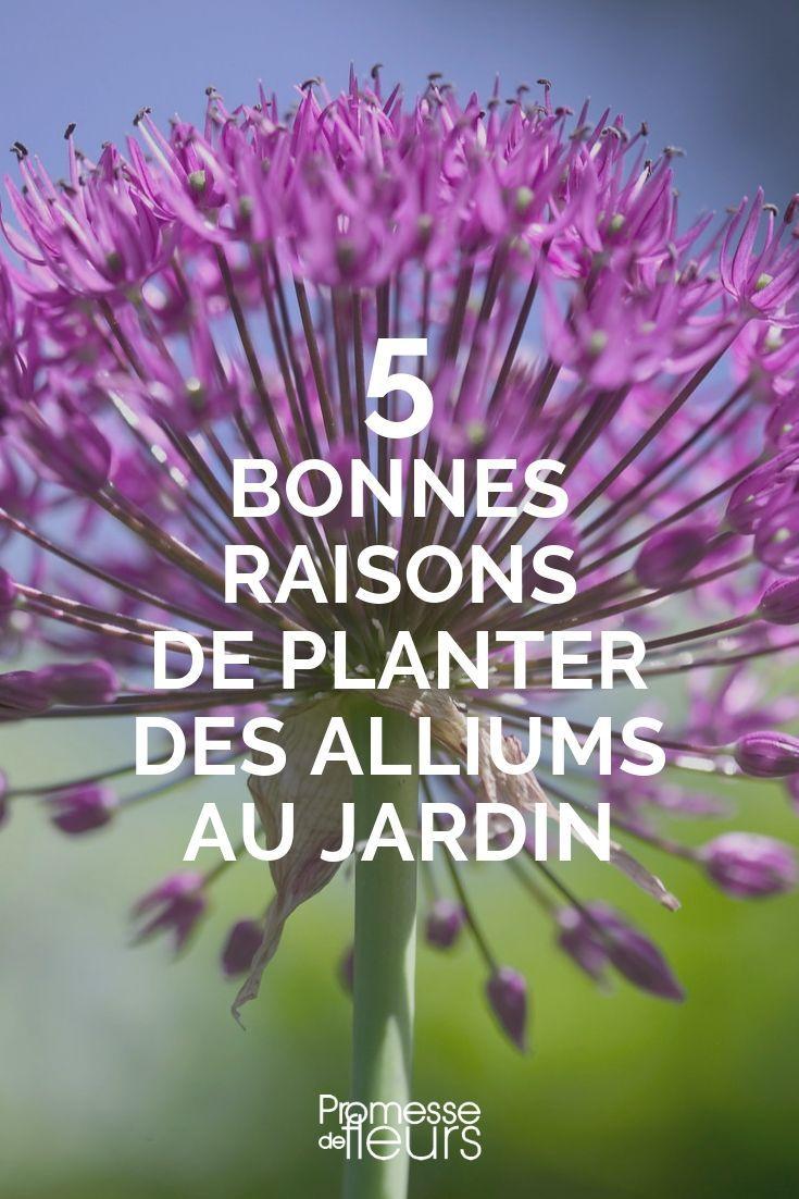 5 bonnes raisons de planter des alliums au jardin