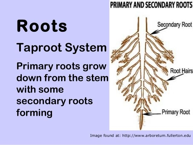 Roots Taproot System Primary roots grow down from the stem with some secondary roots forming Image found at: http://www.ar...