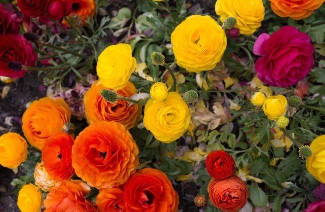 Wiosenny Balkon Jaskry Azjatyckie Plants Flowers Rose