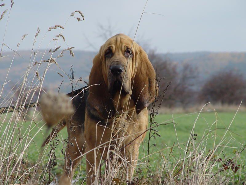 Bloodhound Photo Bloodhound Dog Puppies Bloodhound Dog Wallpaper