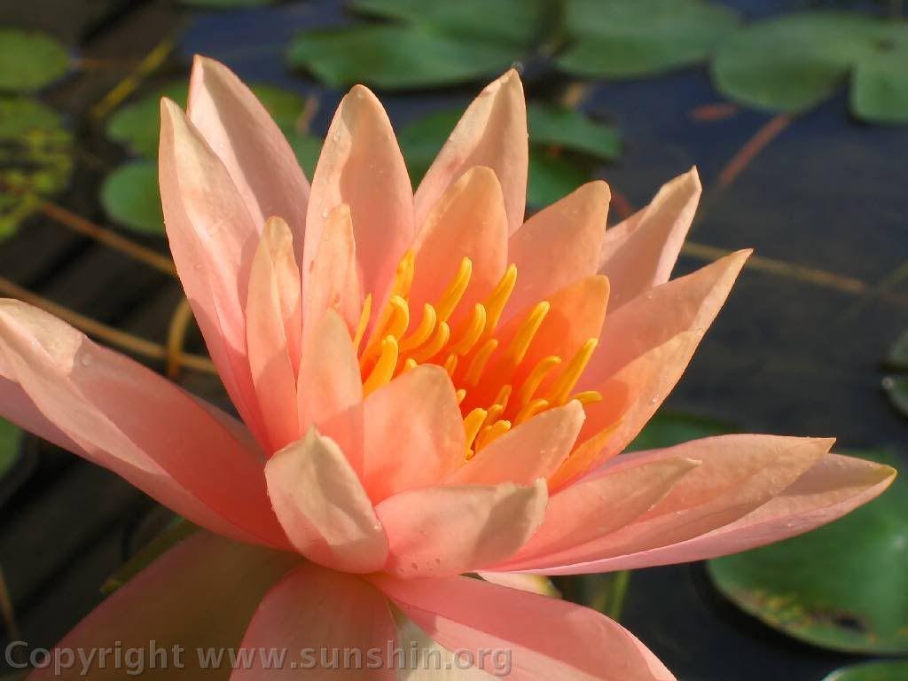 Lotus orange pink google search etsyshop pinterest orange lotus orange pink google search flower colorsflower izmirmasajfo Images