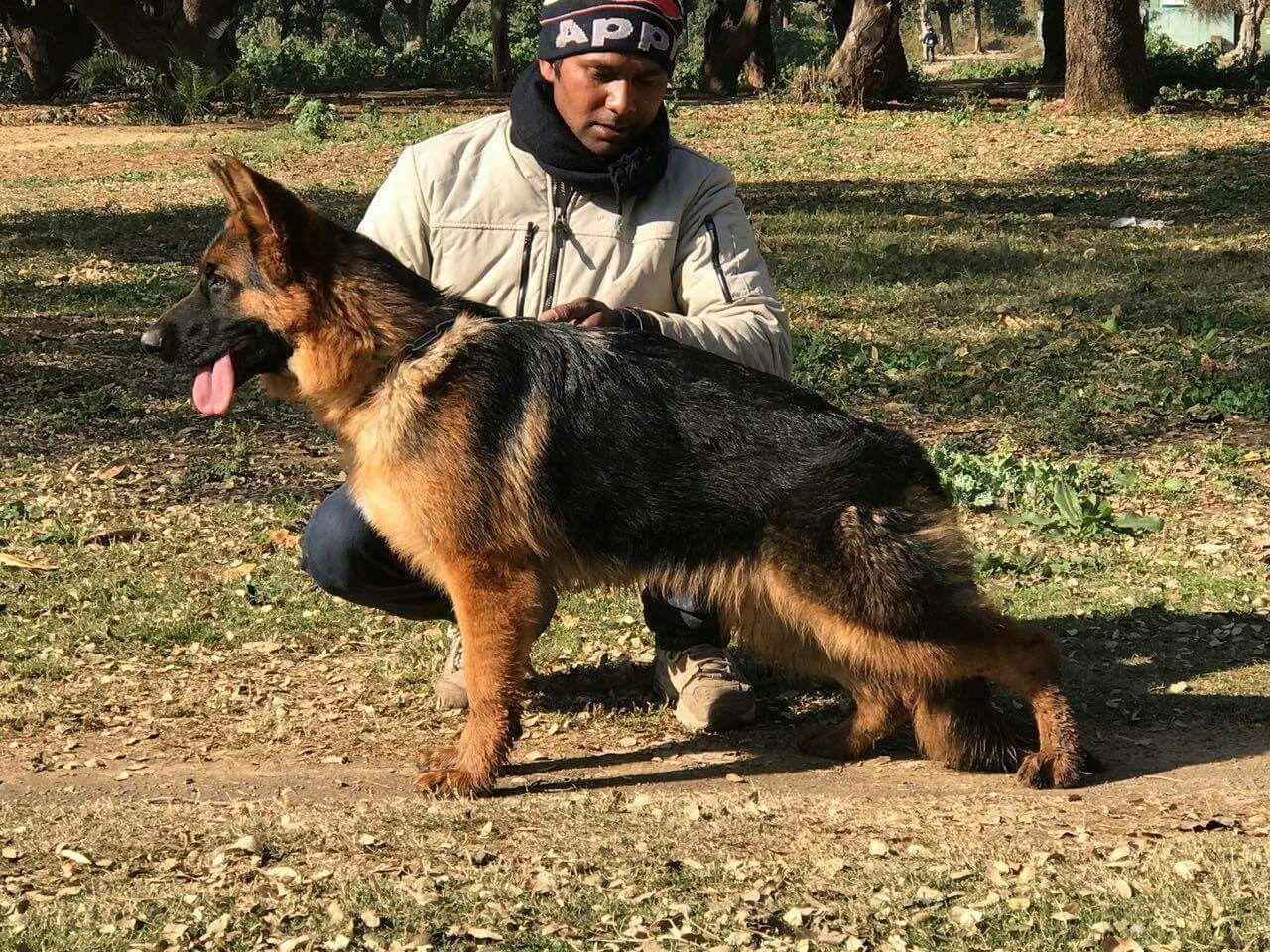 Pin By Ch Rjr On German Shepherd In Pakistan German