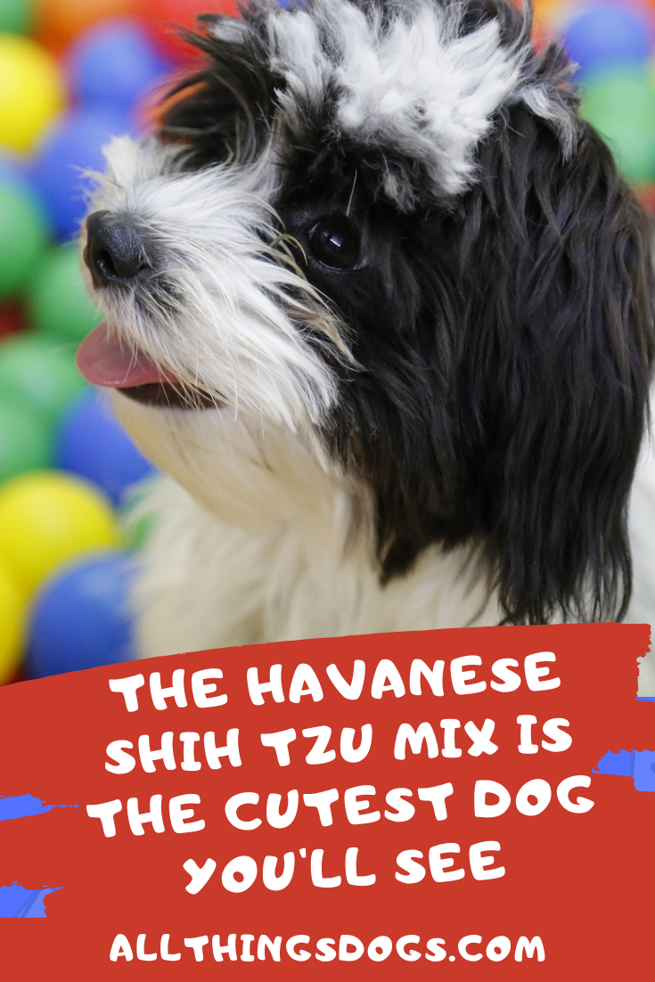 The Havanese Shih Tzu Mix Sometimes Called The Havashu Is A Smart And Spirited Family Dog Read On To Find Out More About Him Shih Tzu Havanese Shih Tzu Mix