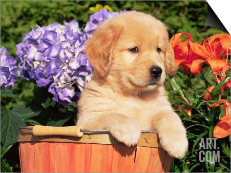 Golden Retriever Puppy in Bucket (Canis Familiaris) Illinois, USA SwitchArt™ Print by Lynn M. Stone at Art.com