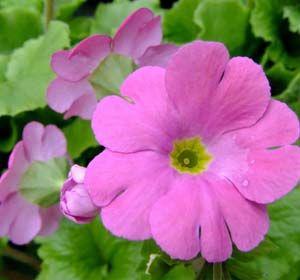 Imagens de flores: Prímulas