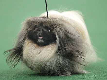 Malachy The Pekingese Wins Best In Show At Westminster With