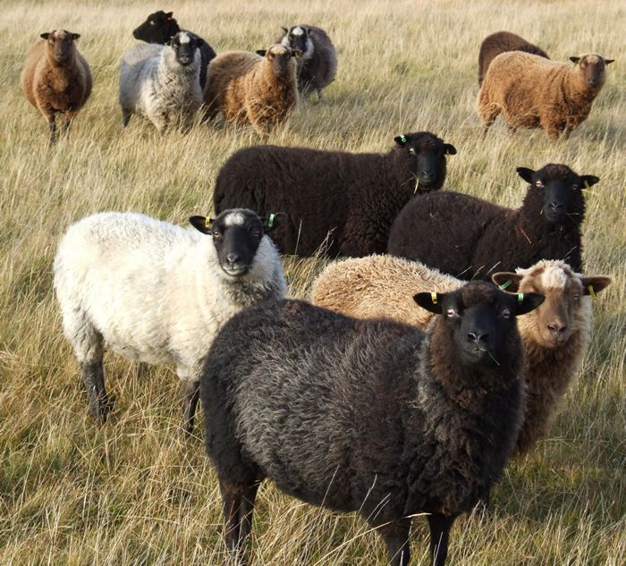 Image result for different coloured sheep