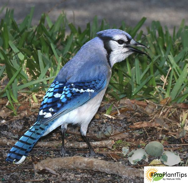 Blue Jays Eat The Eggs Out Of Other Nests Help Prevent Them From