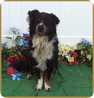 9 3 15 Marietta Ga Bernese Mountain Dog Mix Meet Brelan A Dog For Adoption Bernese Mountain Dog Mix Dog Mixes Dogs