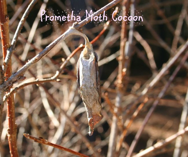 Hometalk :: Common Cocoons And Egg Cases In The Garden Good