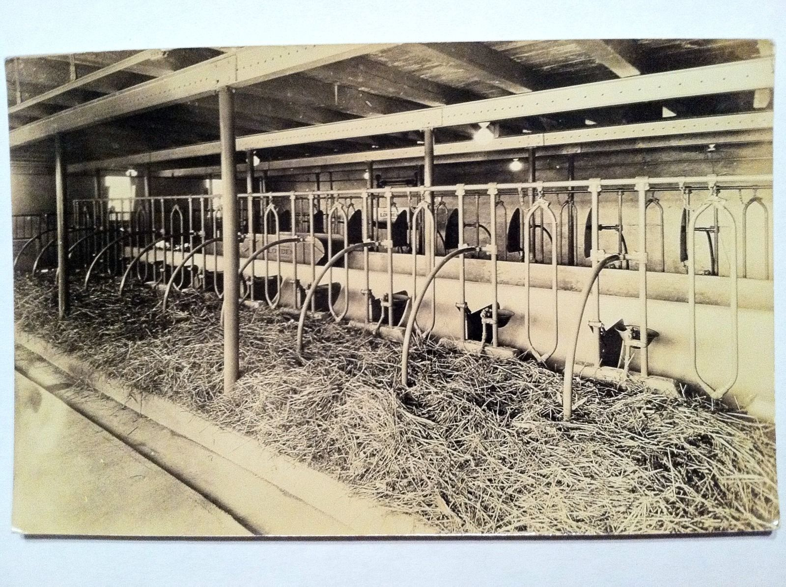 Early 1900s Real Photo Postcard Of Cow Stalls