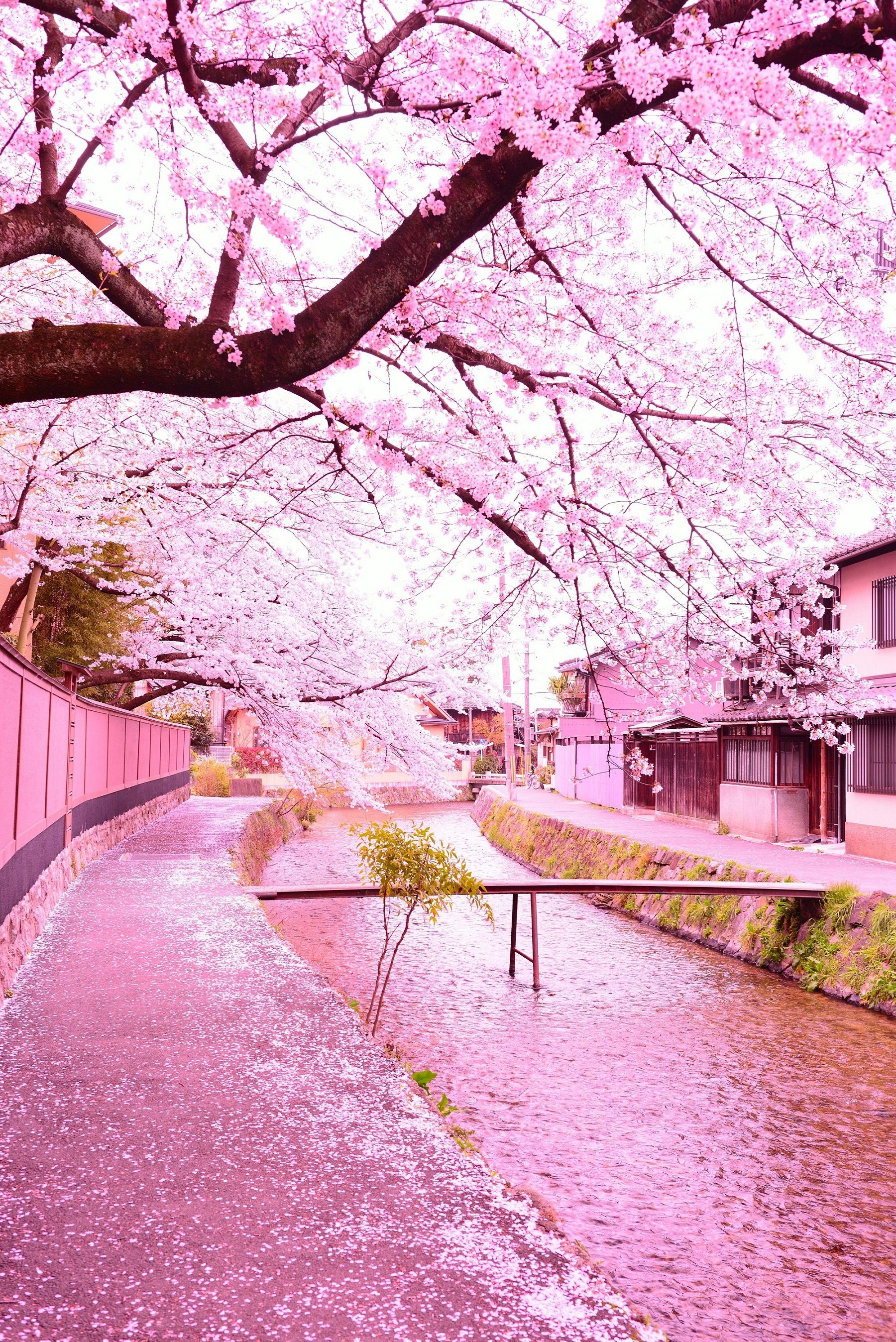 Pink Japan Cherry Trees In Full Blossom In A Japanese Street And