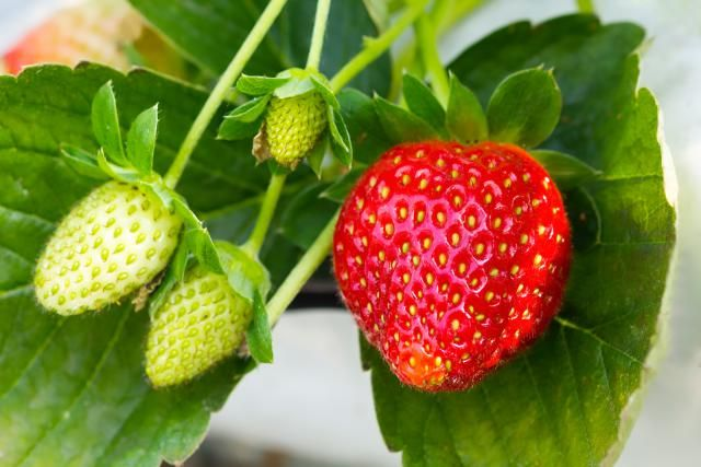 Garden Strawberry Plant Profile Care And Growing Guide