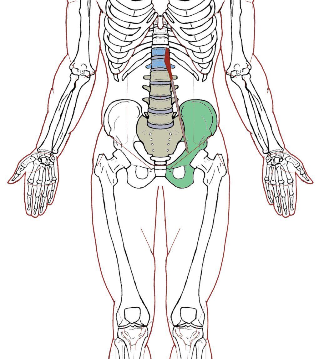 Psoas Minor – Functional Anatomy