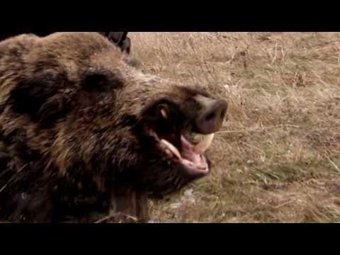 11 Best Wild Boar Images In 2020 Wild Boar Boar Wild