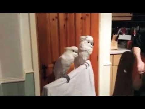 Papagei Tanzt