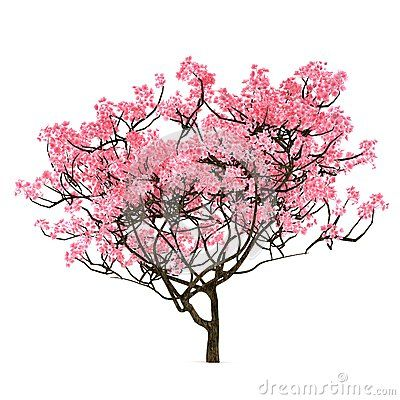 Sakura Tree Isolated Sakura Tree Japanese Art Blossoms Art