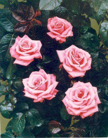 Agatha Christie Rose Agatha Christie Colorful Roses Agatha