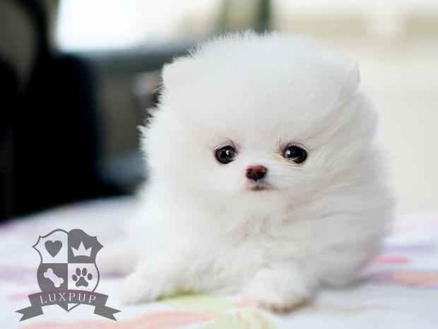 Cutestt White Pomeranian Cute Dogs Pomeranian