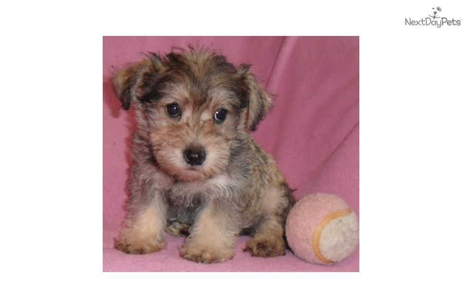 Meet Gretchen a cute Schnoodle puppy for sale for 500